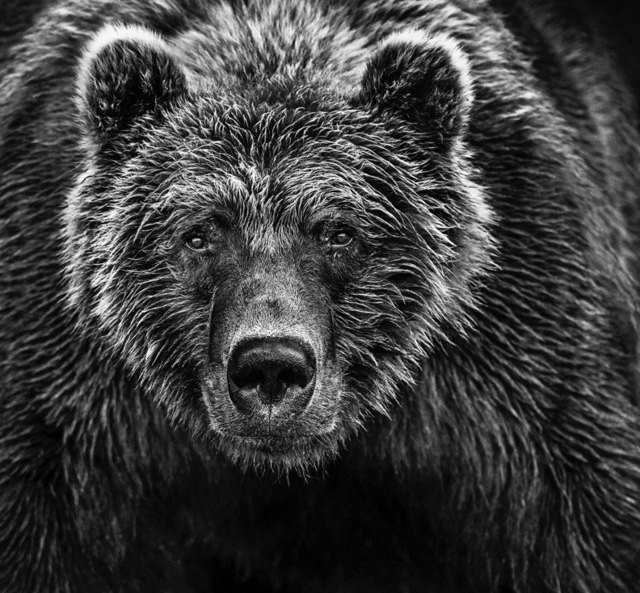 David Yarrow, 'Face Off', Photography, Archival ink on paper, Fineart Oslo