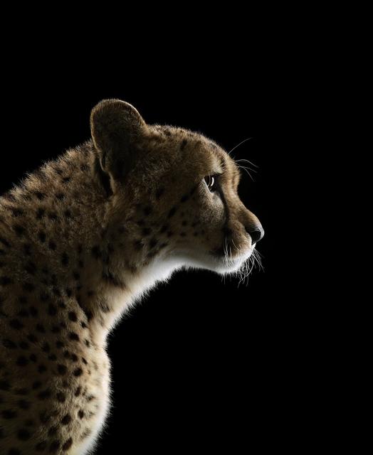 , 'Cheetah #2, Los Angeles, CA,' 2011, photo-eye Gallery