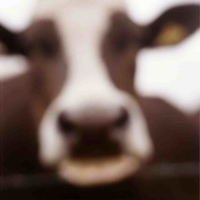 John Huggins, 'Cow, Lewknor, Oxfordshire, England, ed. of 23', 2002, Sears-Peyton Gallery