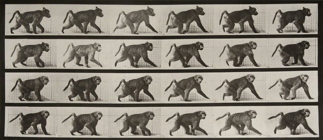 , 'Animal Locomotion: Plate 748 (Baboon Walking on Four Legs),' 1887, Huxley-Parlour