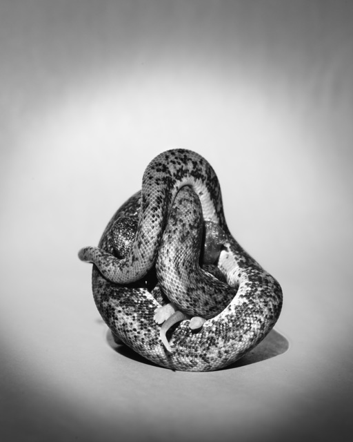 , 'Sculpture II (Savu Constricting Pinky),' 2016, SVA Galleries