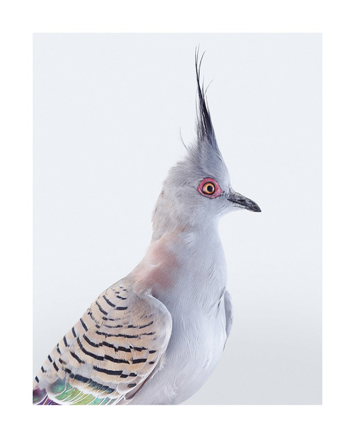 , 'Crested Pigeon ,' 2017, Purdy Hicks Gallery