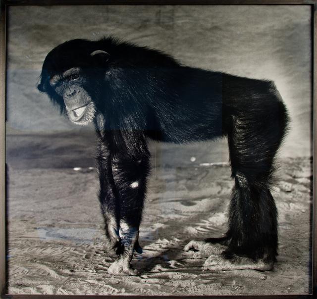 , 'Le chimpanzé,' 1996, Simon Studer Art