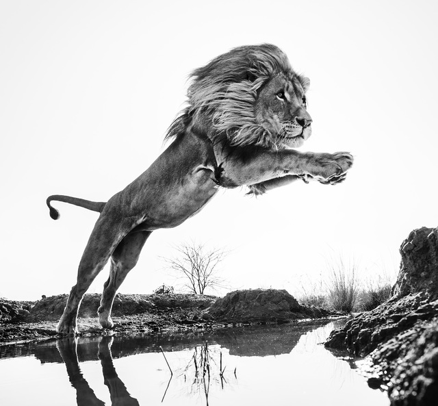 , 'Lion King,' 2014, DELAHUNTY