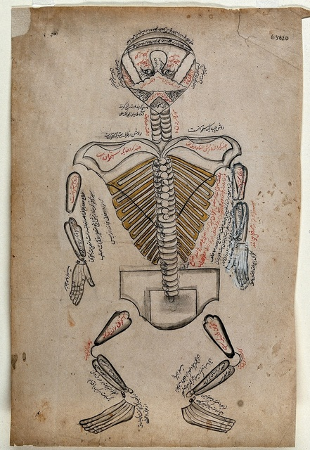 , 'Anatomical Illustration,' 19th century, Dallas Museum of Art