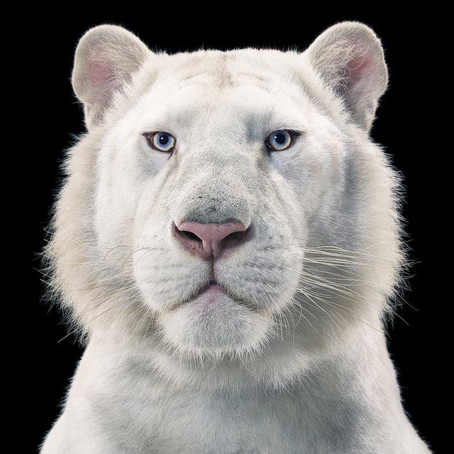 , 'Snow White Tiger,' ca. 2010, Opiom Gallery