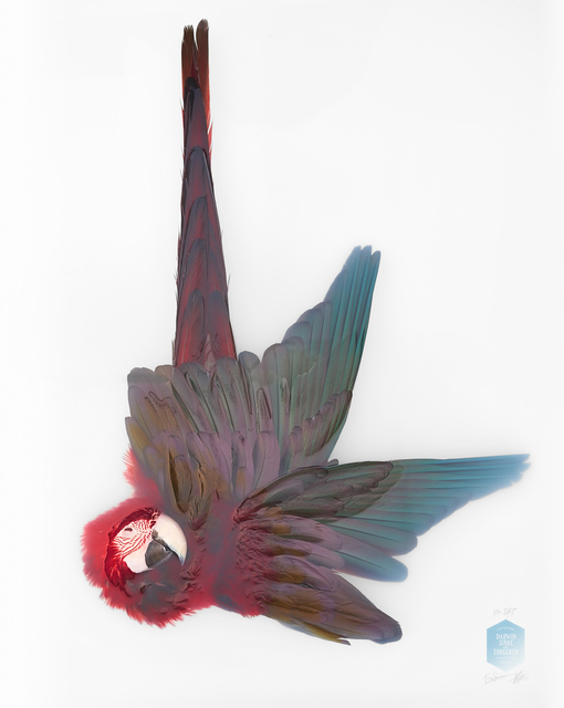 , 'Greenwinged Macaw, From the Series 'Unknown Poses',' 2016, Kahmann Gallery