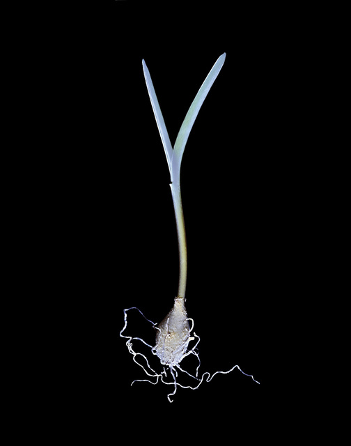 Susan Derges, 'Bluebell (Bulb No.1)', 2000, Purdy Hicks Gallery