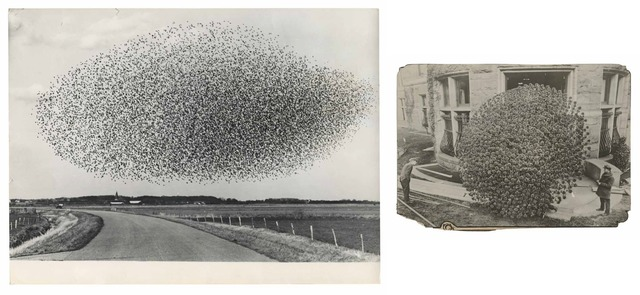 , 'TQ 45/46: Flock of Starlings/Chrysanthemum,' NA/1913, Moss Bureau