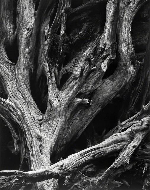 Ansel Adams, 'Sequoia Roots, Mariposa Grove, Yosemite National Park, CA', 1950 (Printed 1963), Photography, Gelatin silver print, Peter Fetterman Gallery