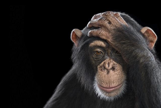 , 'Chimpanzee #2, Los Angeles, CA, 2010 (Affinity series),' 2010, Artistics