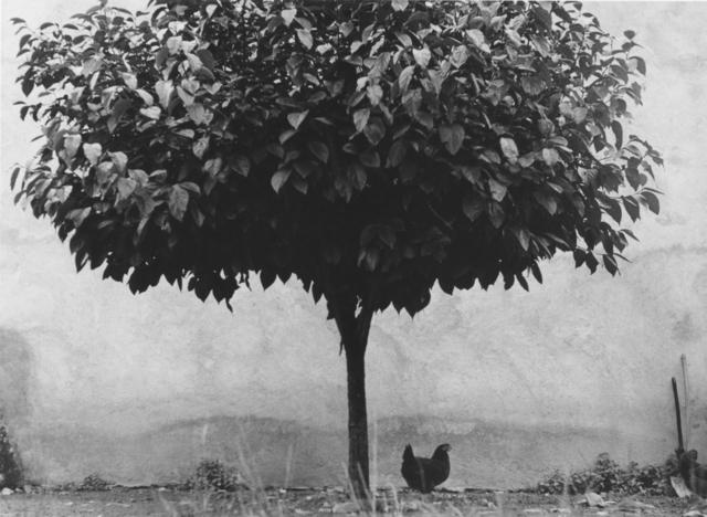 Edouard Boubat, 'L'Arbre et la Poule', 1950, Argentic