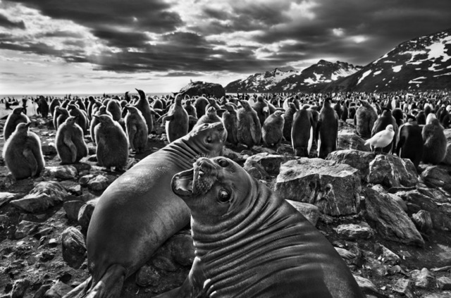 , 'Southern elephant seal calves at Saint Andrews Bay. South Georgia.,' 2009, Sundaram Tagore Gallery