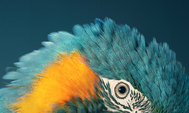 , 'Blue Throated Macaw,' 2017, Osborne Samuel