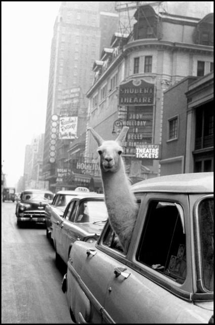 Inge Morath, 'A Llama in Times Square. New York City, USA.', 1957, Magnum Photos