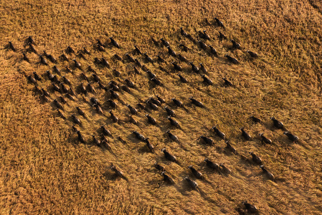 , 'Herd of Buffalo, Sudd Swamp, Southern Sudan,' 2010, Anastasia Photo