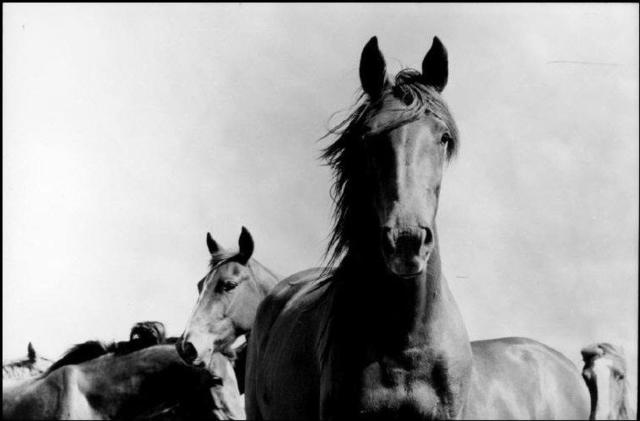 René Burri, 'Wild Horses, Argentina', 1958, Atlas Gallery