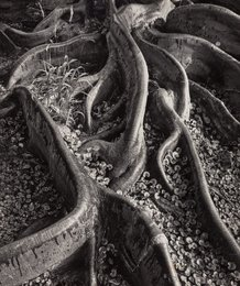 Roots, Foster Gardens, Honolulu