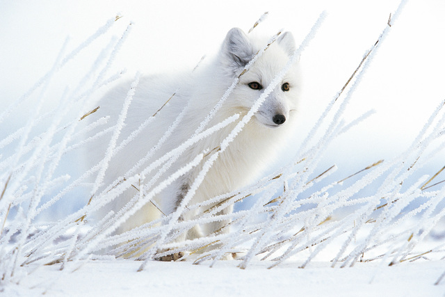 , 'Arctic Ghost,' , Paul Nicklen Gallery