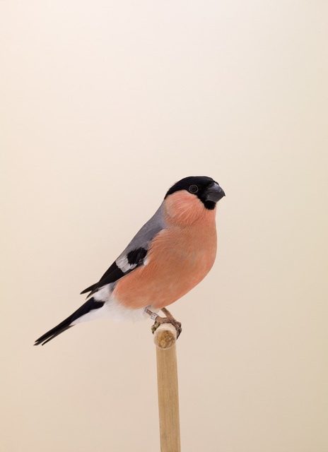 Luke Stephenson, 'Siberian Bullfinch #1, from The Incomplete Dictionary of Show Birds', 2008, The Photographers' Gallery | Print Sales
