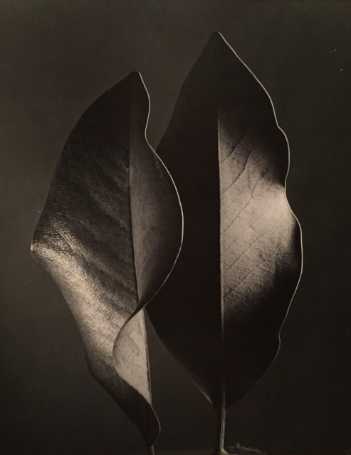 , 'Two Leaves,' Neg. date: 1952 / Print date: 1952 c., Alan Klotz Gallery