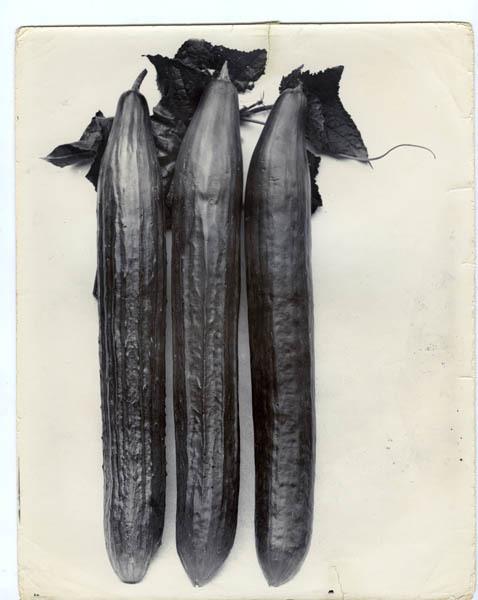 Charles Jones, 'Cucumber Telegraph', ca. 1900, Michael Hoppen Gallery