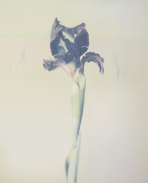 , 'Iris atropurpurea P02,' 2018, Talley Dunn Gallery
