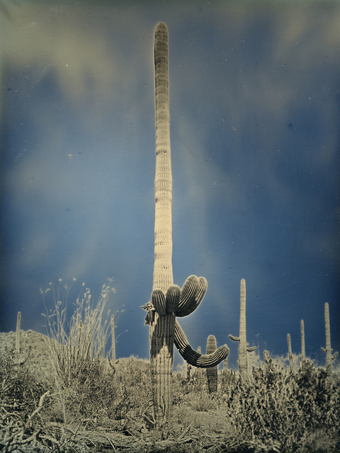 , 'Untitled cactus #2, Saguaro National Park, Arizona  April 6, 2014,' 2014, Lisa Sette Gallery