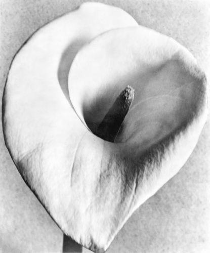 , 'Calla Lily,' 1924-1926, Galeria Enrique Guerrero