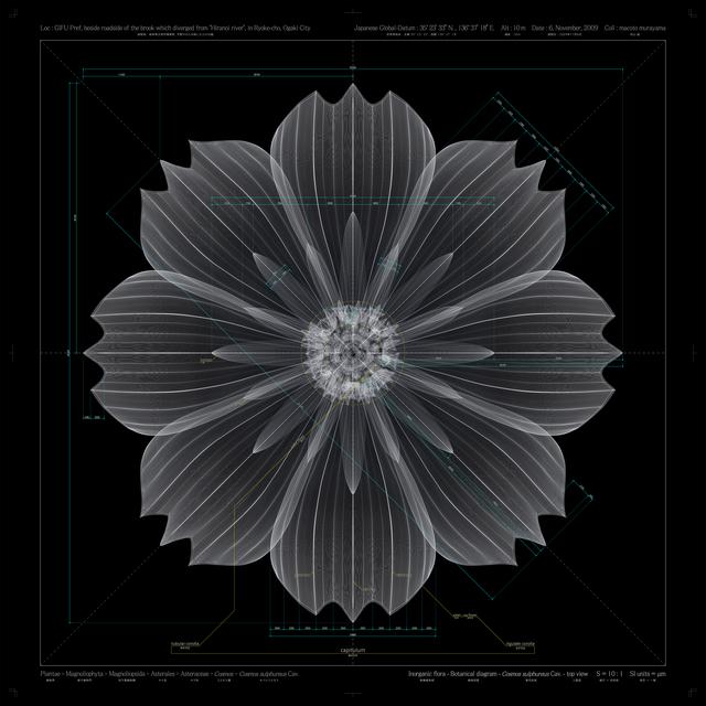 , 'Cosmos sulphureus Cav – top view - b,' 2010, Frantic Gallery