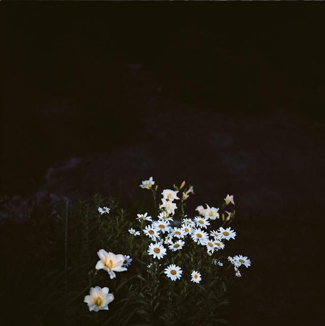, 'Night Garden: Daisy Bunch ,' 2012-2015, Traywick Contemporary