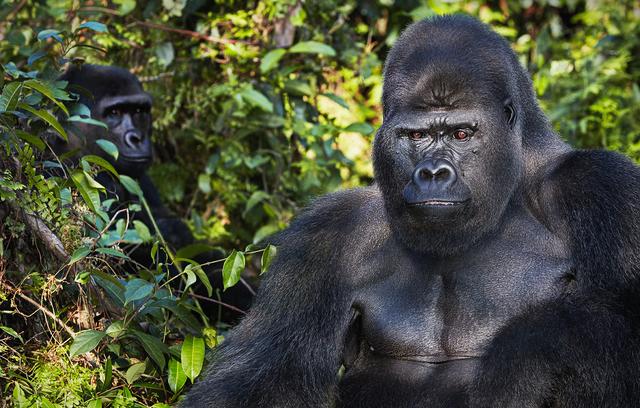 , 'Western Lowland Gorillas,' 2017, Osborne Samuel