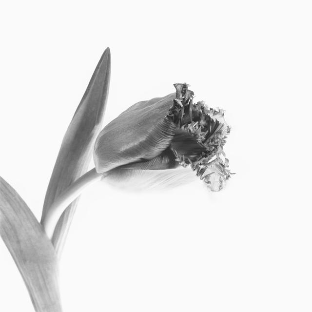 , 'Tulip,' 2014, Gallery LVS
