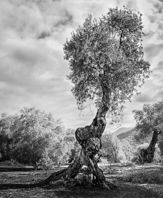 , 'Centenarian olive tree / Olivo centenario ,' 2015, Jacaranda Images
