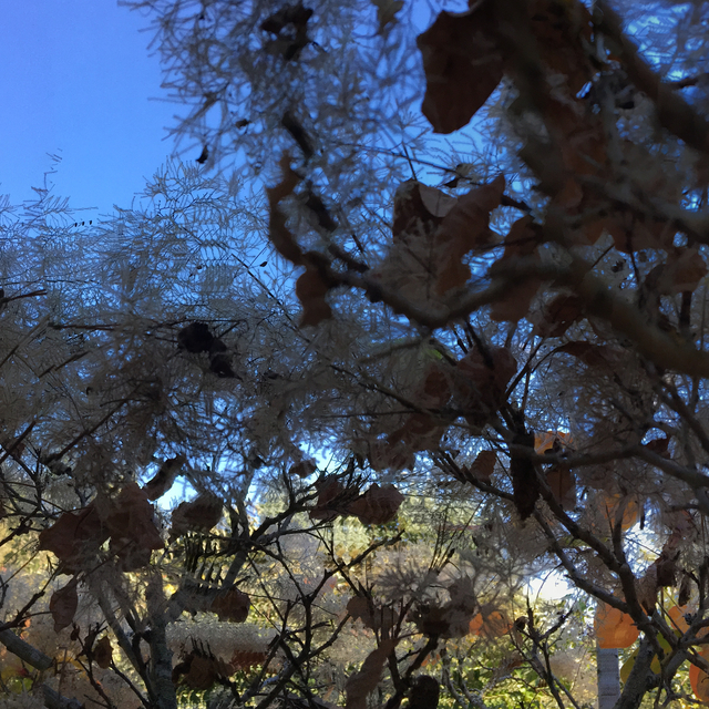 , 'Sonoma County, California: Smoke Bush,' 2016, InLiquid