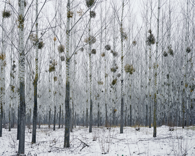 , 'Forest with Mistletoe (near Oradea, West Romania),' 2014, The Photographers' Gallery