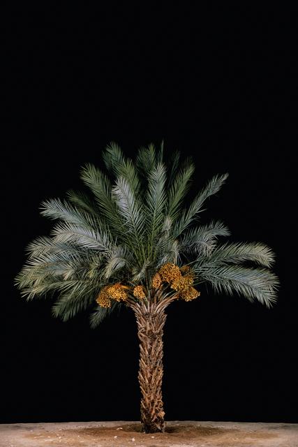 , 'Tamar #2 (Date Palm),' 2011, Meislin Projects