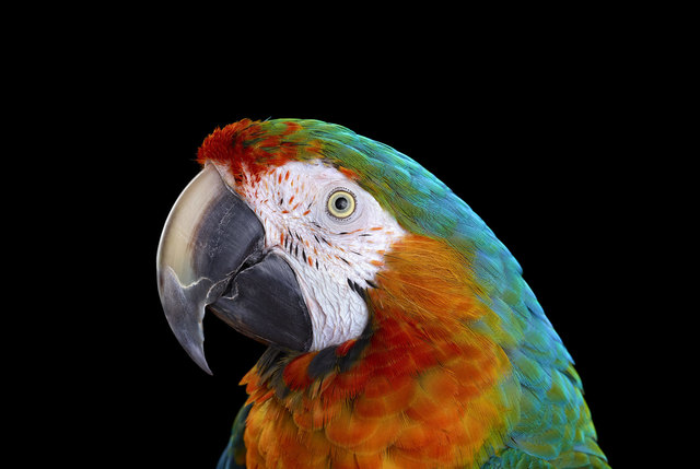 , 'Catalina Macaw #1, Albuquerque, NM, 2016,' 2016, Artistics