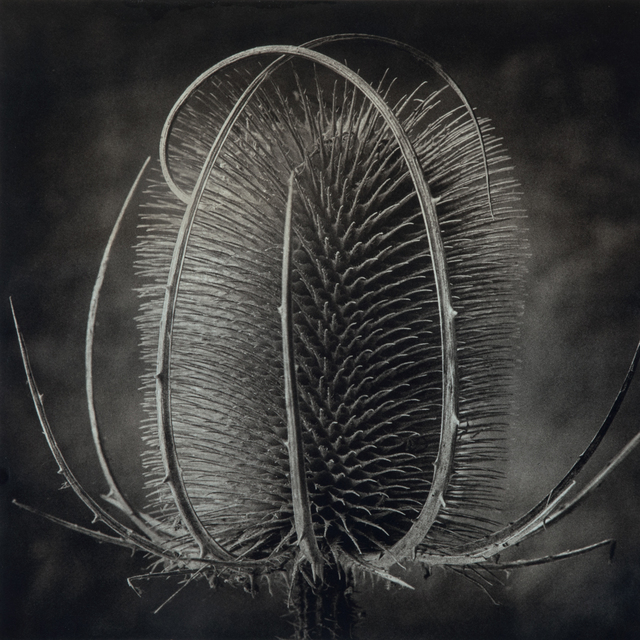 , 'Provence Thistle,' , Gallery 270