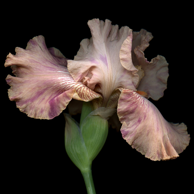 , 'Peach Iris 1/10,' , J. Petter Galleries