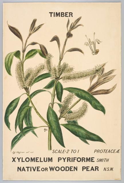 Agard Hagman, 'Botanical illustration of Xylomelium pyriforme (Native or Wooden Pear)', 1887, Powerhouse Museum