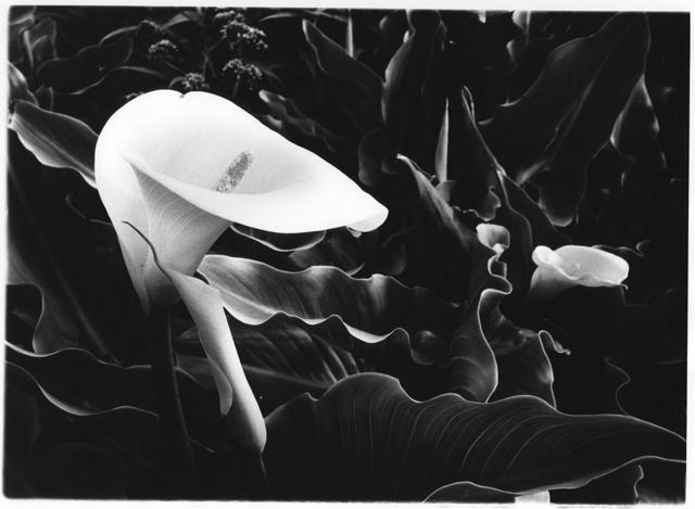 , 'Calla Lilly,' 2000, Emerge Gallery NY