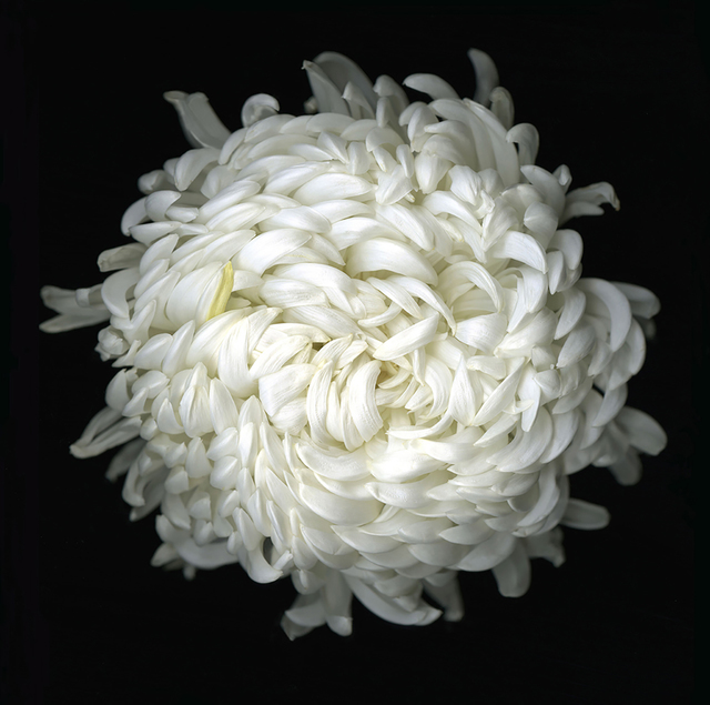 , 'Chysanthemum,' 2011, Eric Buterbaugh Gallery