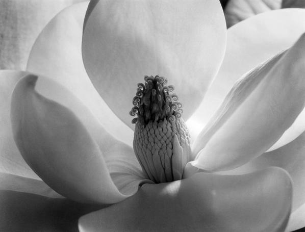 , 'Magnolia Blossom,' 1925, Scott Nichols Gallery