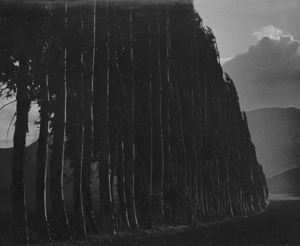 , 'Eucalyptus, Carmel,' 1939, Scott Nichols Gallery