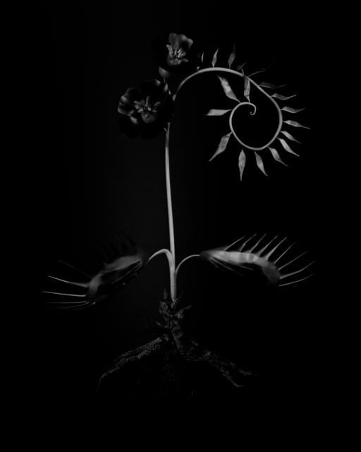 , 'Voynich Botanical Studies, Specimen 56r Zima,' 2016, Koenig & Clinton