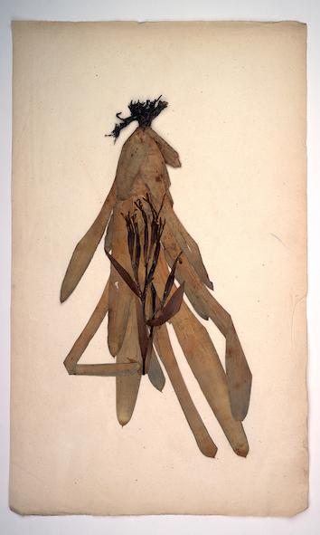 , 'Bilbergia amoena (Herbarium Dresdense,' 2018, Drawing Room
