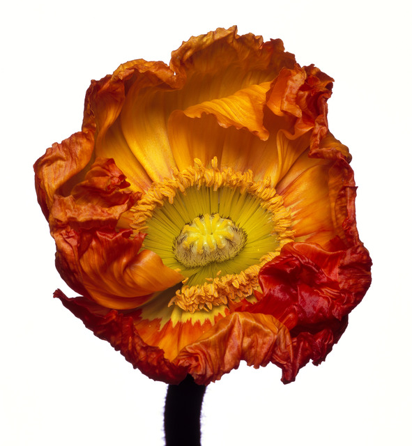 Michael Zeppetello, 'Iceland Poppy (Z)', 2018, Almond & Co.