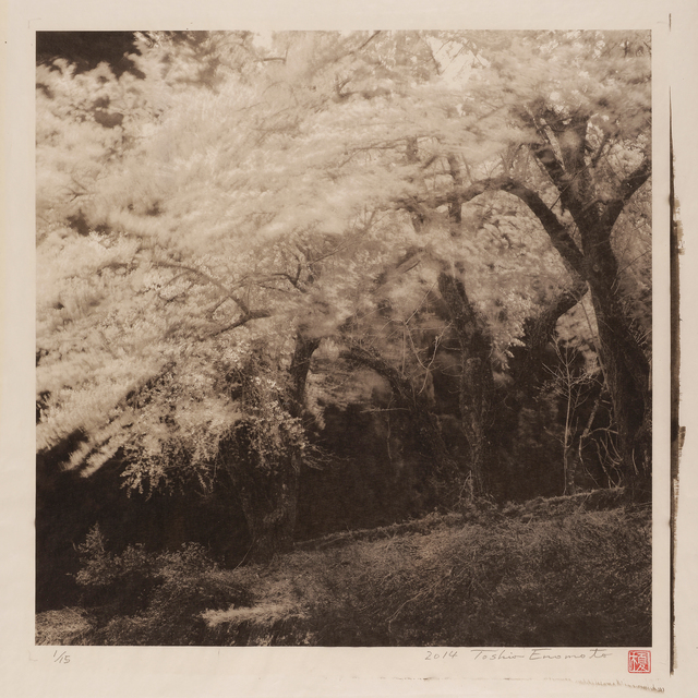 Toshio Enomoto, 'Yama-Zakura Surviving a Spring Breeze 2, Ogatsumachi, Akita', 2014, Micheko Galerie