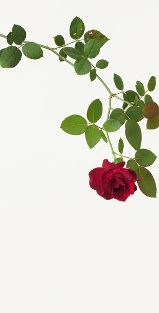 Takashi Tomo-oka, 'Bara ( Rose )', 2013, Ippodo Gallery